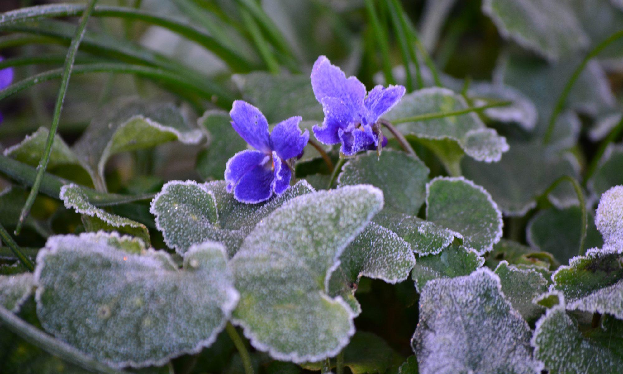 Veilchen-Raureif-Winter