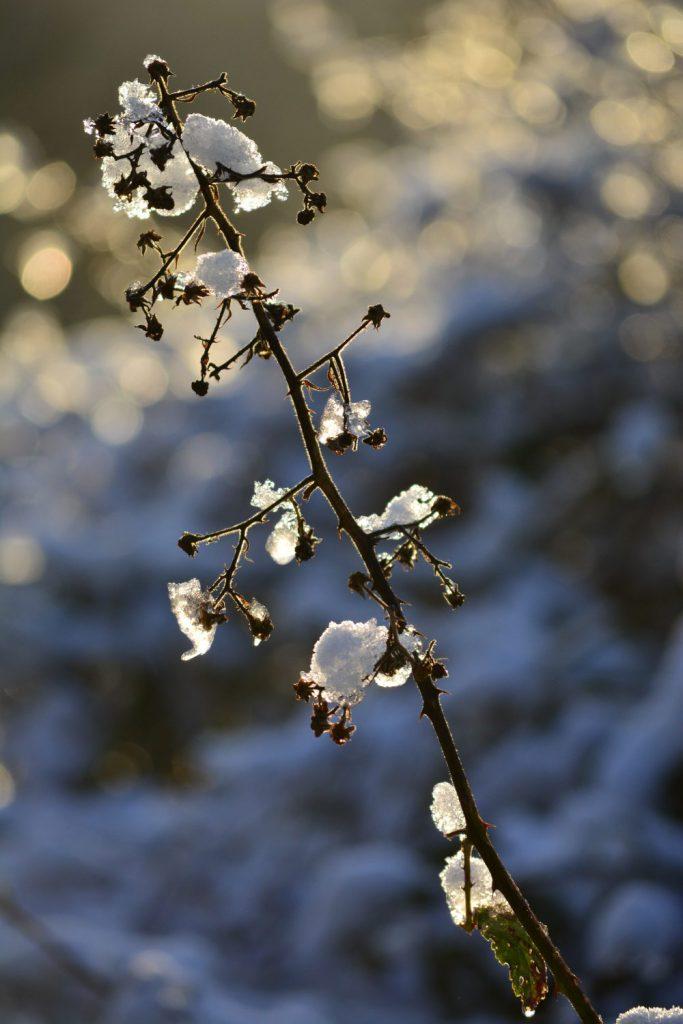 Brombeerranke im Schnee