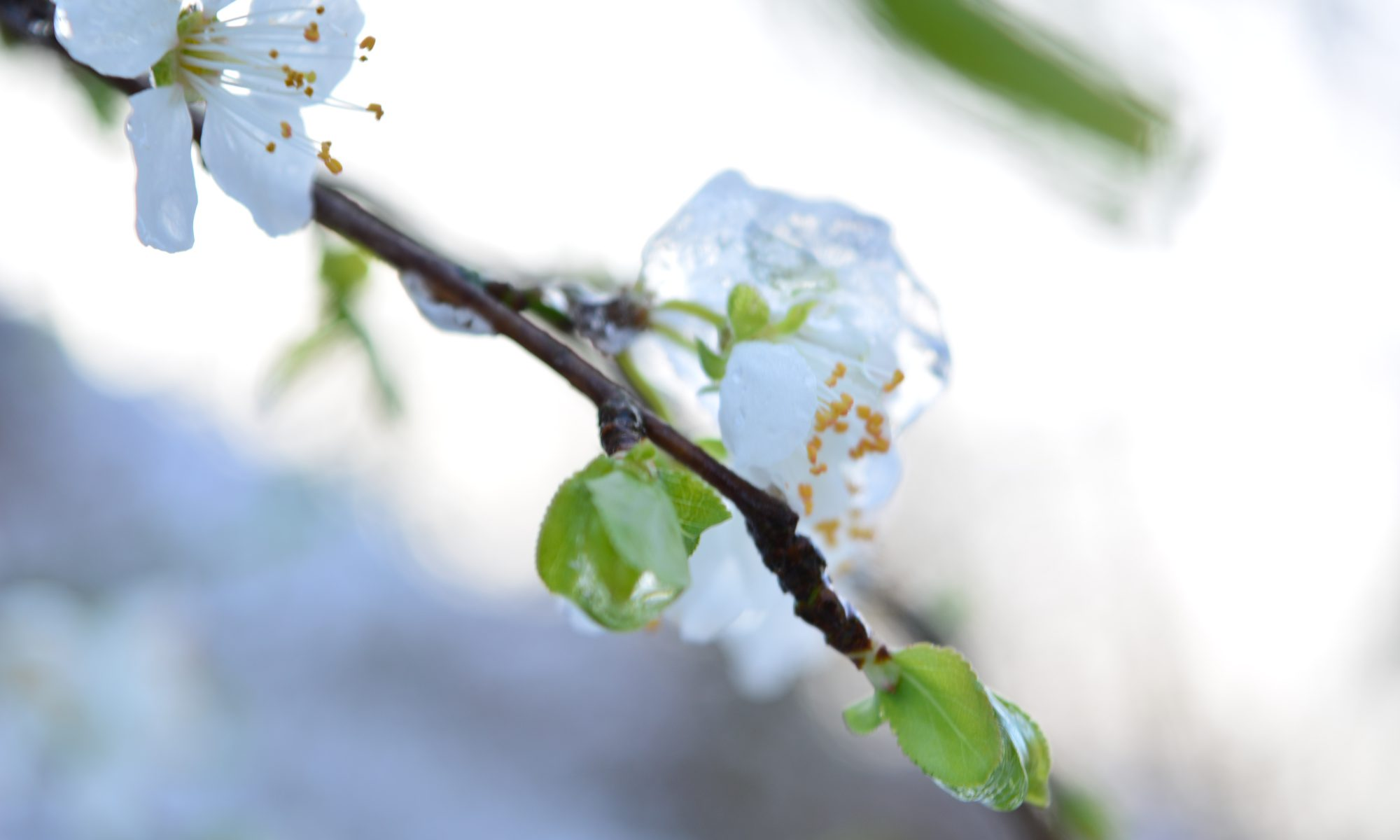 Kirschblüte im Eis